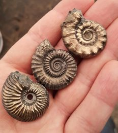 Set of 3 different Lovely pyrite Ammonite from UK