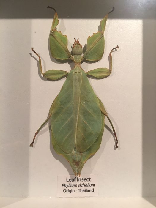Large Walking Leaf Insect In Wooden Display Frame Phyllium
