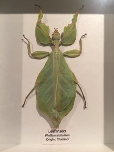 Large Walking Leaf Insect, in wooden display frame - Phyllium sicholium - 15 x 12,5cm