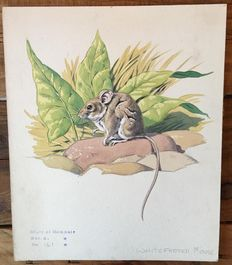 Neave Parker (1910-1961) - Originele illustratie 'Whitefooted mouse' - beginjaren '50