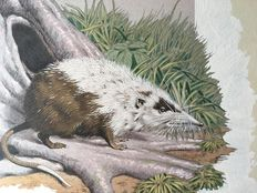 Neave Parker (1910-1961) - Originele illustratie 'Rat-shrew' - beginjaren '50