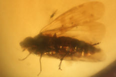 Oldest cicada winged in BURMA Amber 100 million years old 0.4mm