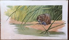 "Neave Parker (1910-1961) - Original illustration ""Water vole"" - early 1950s"