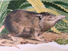 "Neave Parker (1910-1961) - Original illustration ""Solenodon"" - early 1950s"