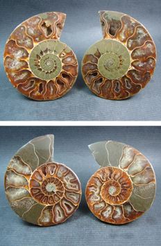 Fossilized and opalized goniatite Ammonites - 80mm and 71mm.