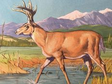 "Neave Parker (1910-1961) - Original illustration ""White-tailed deer"" - early 1950s"