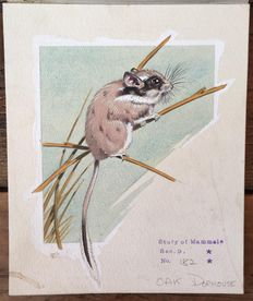 Neave Parker (1910-1961) - Originele illustratie 'Oak dormouse' - beginjaren '50
