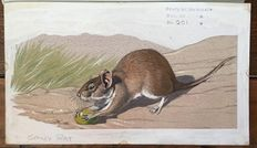 "Neave Parker (1910-1961) - Original illustration ""Spiny rat"" - early 1950s"