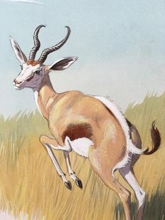 "Neave Parker (1910-1961) - Original illustration ""Springbok"" - early 1950s"