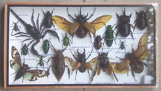 Fine, named Exotic Insect collection in wood display case - 35 x 20cm