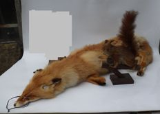 Taxidermy - lovely Red Fox pelt - Vulpes vulpes, and Red Squirrel - Sciurus vulgaris - 120cm and 25cm  (2)