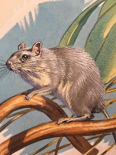 "Neave Parker (1910-1961) - Original illustration ""Madagascan eliurius"" - early 1950s"