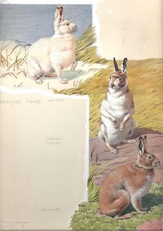 Neave Parker (1910-1961) - Original illustration of hares in winter and summer coat - early 1950s