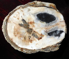 Collector's item; slab of Petrified Wood - 200 x 160 x 30 mm - 1.4 kg