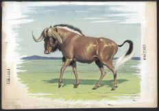 "Neave Parker (1910-1961) - Original illustration ""White-tailed gnu"" - early 1950s"