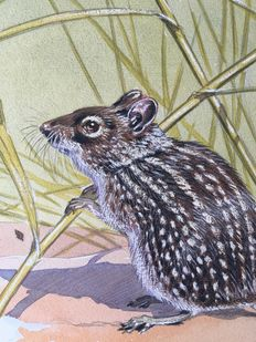 "Neave Parker (1910-1961) - Original illustration ""Striped rat"" - early 1950s"