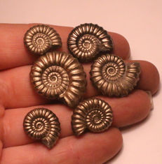 Group of 6 Iron Pyrite Ammonite Fossils - Promicroceras Pyritosum - 24 - 15mm