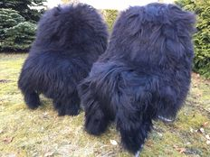 Two real very soft, nature black longhair Iceland sheepskins/lambskins