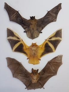 Taxidermy - various Asian Bats - 21 to 23cm  (3)