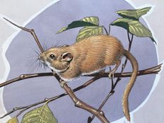 "Neave Parker (1910-1961) - Original illustration ""Common dormouse"" - early 1950s"