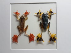 Taxidermy - Reinwardt's Tree Frog and Harlequin Tree Frog in 3-D case - 25 x 25cm