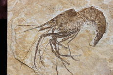 Exceptional and large crustacean fossil - Aeger spinipes - 14.9 cm! - Plate of 16.5 x 17 cm