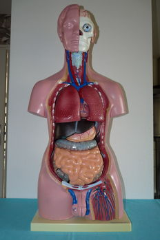 Beautiful and complete anatomical torso model