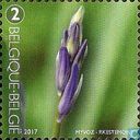 Common Bluebell in Bud