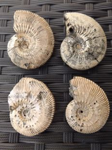 Collection of 4 ammonites with mother of pearl - 55 mm to 45 mm