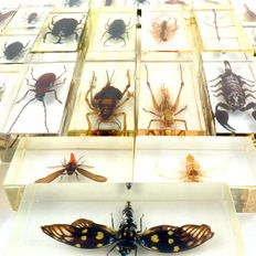 Exotic Insects, under Plexiglass - 110 x 46mm and 70 x 40mm  (40)