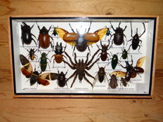 Interesting display case with Exotic Insects - 35 x 20cm