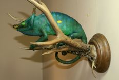 Taxidermy - fine Parson's Chameleon - Chamaeleo parsonii - mounted on Siberian Roebuck horns - Capreolus pygargus - 34 x 27.5cm