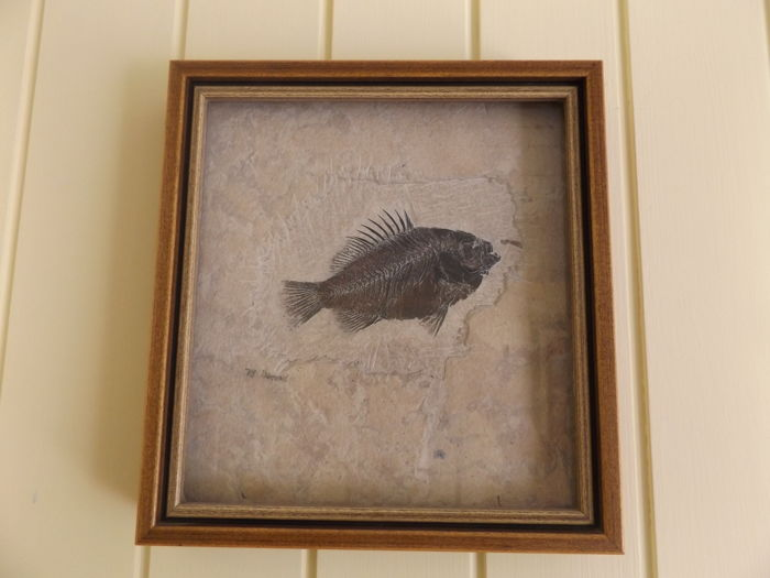 Fossil fish - Priscacara serrata - total length: 15cm