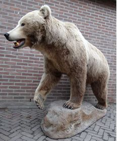 Fine taxidermy - Full-mount North American Brown Bear - Ursus arctos ssp - 210 x 155 x 70 cm