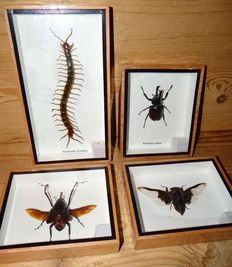 Interesting collection of Insects - 15,5 x 12,5cm and 23 x 12,5cm  (4)