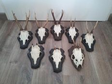 Lot with 8 x roebuck antlers on wooden plaques