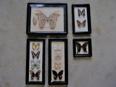 Vintage Chinese Butterfly display frames - 32 x 26cm and 14 to 15cm  (5)