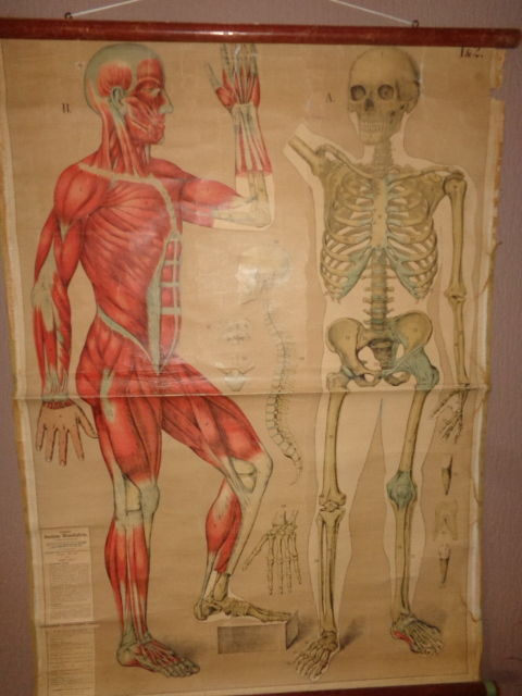 Two old anatomy school posters/School cards of the human skeleton ...