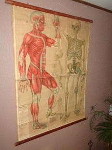 Two old anatomy school posters/School cards of the human skeleton and muscles system, and an old school poster of the nervous system