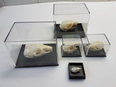 Various Rodent Skulls in acrylic display cases - 2.5 to 8cm  (5)