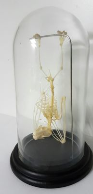 Greater Short-nosed Fruit Bat skeleton under glass dome - Cynopterus sphinx - 23cm