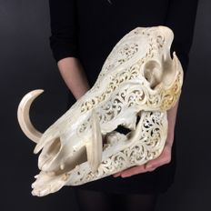Finely-carved Balinese Wild Boar skull - Suidae sp. - 36 x 30 x 18cm