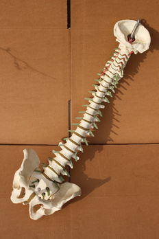 Model of the human spinal column with pelvis