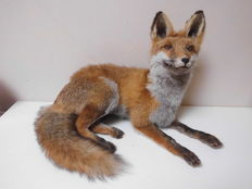 Taxidermy - Red Fox - Vulpes vulpes - 40 x 35 cm
