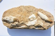 Huge fossil teeth - Mosasaur sp - 32 x 16 cm