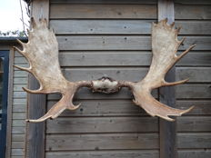 Taxidermy - huge Moose antler set on part-skull - Alces alces - 110 x 75cm