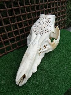Hand-carved Wild Boar skull - Suidae sp. - 40 x 20 x 22cm
