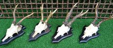 Collection of fine Roebucks on carved hardwood shields - Capreolus capreolus - 20 x 12 x 15cm  (4)