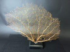 Fine, large orange Sea Fan, on a black base - Alcyonacea sp. - 56 x 49 x 9cm