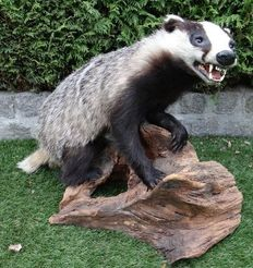 Taxidermy - European Badger - Meles meles - 50 x 50 x 60cm